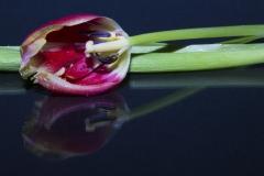 tulpen 6 Ada verkleind